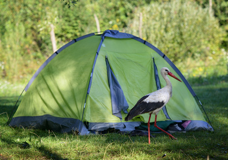 Funny stork bird walking near the hiking tent. Wild bird migration. Banque d'images
