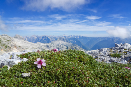Alpine landscape with blooming flowers between rocks high at the mountain top. Amazing view from Kanin mountain in Slovenia