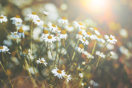 Beautiful daisy flowers in spring with sun flare. Shallow focus, muted colors
