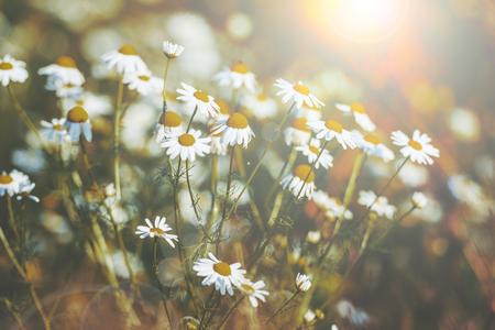 Piękne kwiaty daisy na wiosnę z rozbłyskiem słońca. Płytkie skupienie, wyciszone kolory