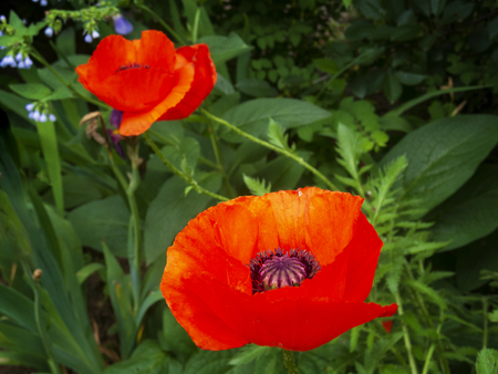Colorful red poppies. Spring flowers in the garden