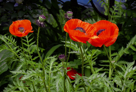 Bright red poppy flowers. Flowers and seed boxes