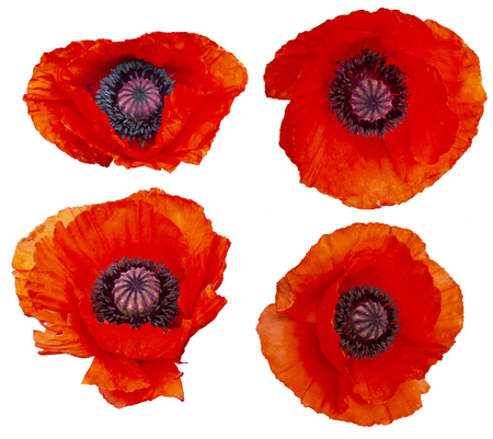 Set of poppy flowers isolated on white. High resolution.
