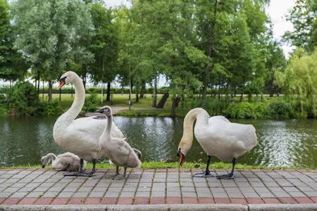 Swan family in the park. Swan parents and baby swans Imagens