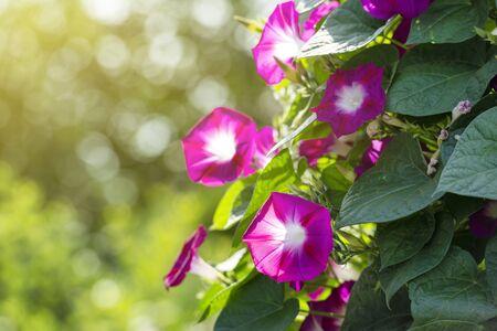 Beautiful morning glory flowers in a garden illuminated by sun Stock Photo