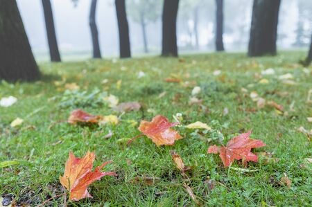 Rain in the autumn park. Fall scene with wed red fallen leaves
