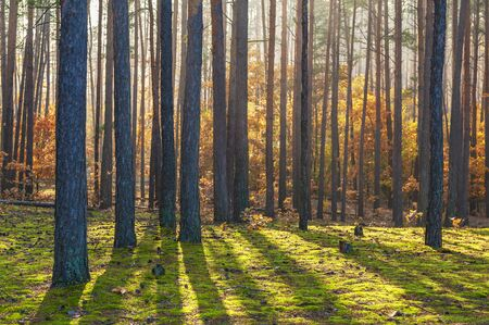Scenic autumn pine forest illuminated by morning sun