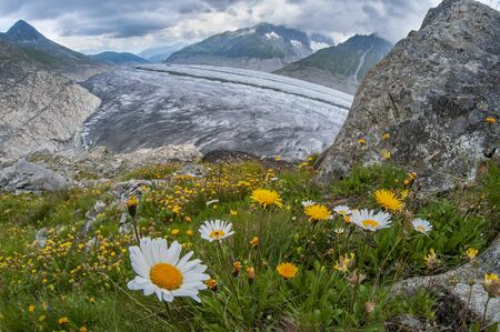 Alpine flowers and beautiful panorama of Aletsch glacier in Switzerland. Melting of ice because of global warming
