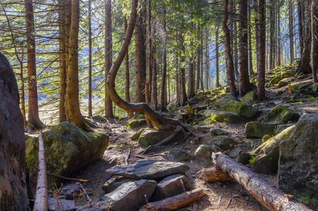 Sunny forest in Carpathian mountains, Ukraine