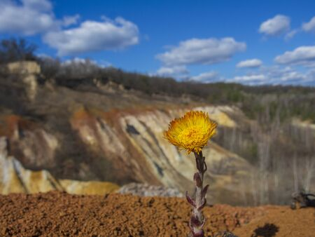 Blooming yellow coltsfoot flower and sunny spring landscape at the countryside.