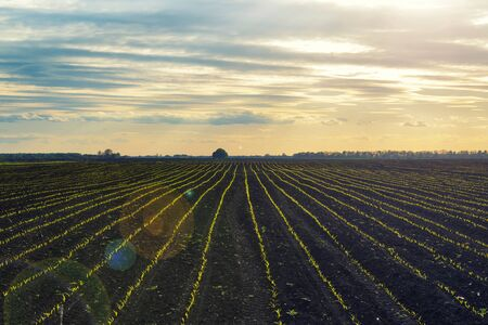 Cultivated field with rows of young green crops. Agricultural landscape