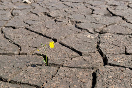 Concept of a climate change and water resources lack - cracked dry earth with single flower Stock Photo