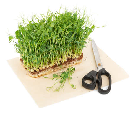 Micro green sprouts, healthy vegan food grown at home 免版税图像