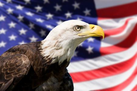 aguila calva: �guila calva con bandera americana Foto de archivo