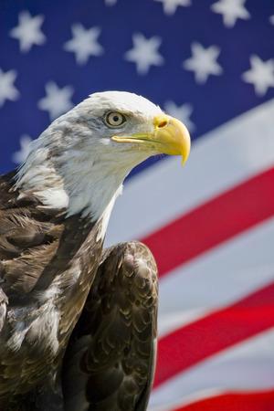 American  bald eagle with Flag photo