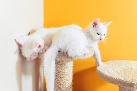 longhair: The Persian cat is a long-haired breed of cat characterized by its round face and short muzzle. In Britain, it is sometimes called the Longhair or Persian Longhair.