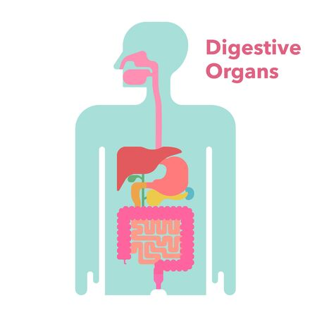 A simple illustration of a digestive system with margins Vectores
