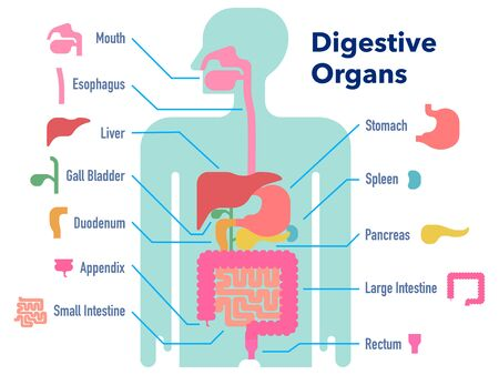 A simple illustration of the digestive system with its name for each site Illustration