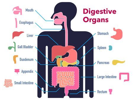 Simple illustration of the digestive system drawn on a black silhouette with cut-out and name of each part