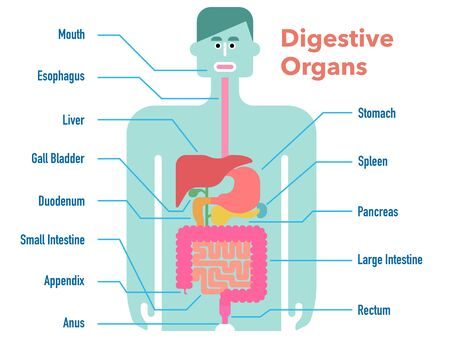 Cute and simple illustration of the digestive system with the name of each part