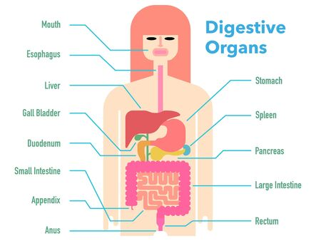 Colorful and simple illustrations of digestive organs with the names of each part 免版税图像 - 131512577