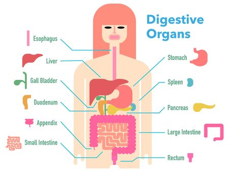 Colorful and simple illustrations of digestive organs with cut-outs and names of each part Stockfoto - 131512576