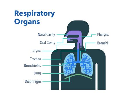 A simple illustration of a respiratory organ with the name of each part in English Stockfoto - 131512584