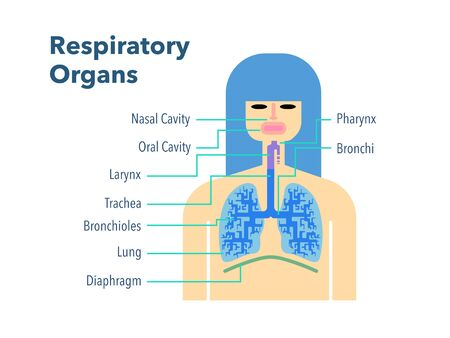 Simple illustration of a respiratory organ with the name of each part in English on a white back