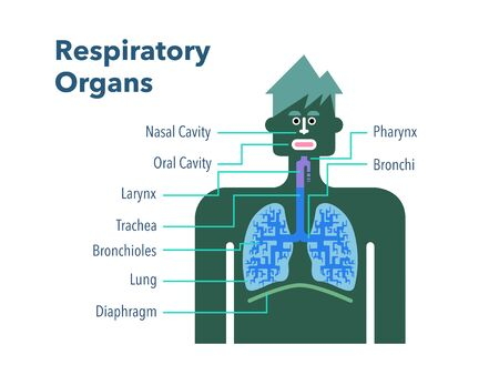 Simple illustration of a respiratory organ with the name of each part in English on a white back 免版税图像 - 132153843