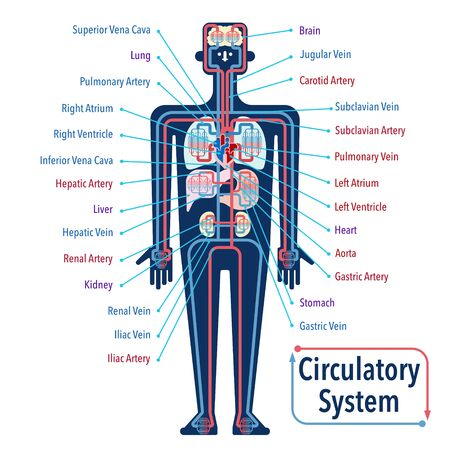 Simple illustration of the circulatory system with the names of each part in English Illustration