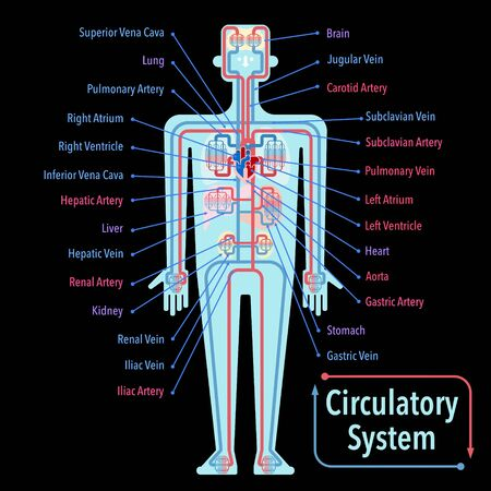 Simple illustration of the circulatory system with the name of each part in English on the black back Stockfoto - 132656406