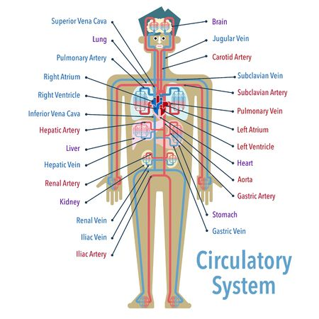 Simple Ilas of the circulatory system with the names of each part in English 矢量图像