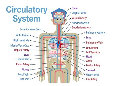 Simple illustration of the circulatory system with the names of each part in English Stock Illustratie