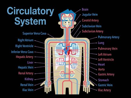 Simple illustration of the circulatory system with the name of each part in English on the black back Stockfoto - 132895722