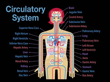 Simple illustration of the circulatory system with the name of each part in English on the black back