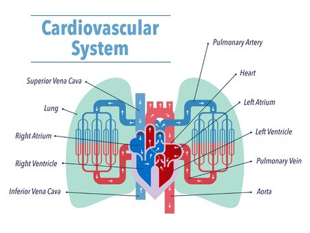 Simple illustrations of the cardiovascular system focusing on the heart and lungs with the names of each part in English Stock Illustratie
