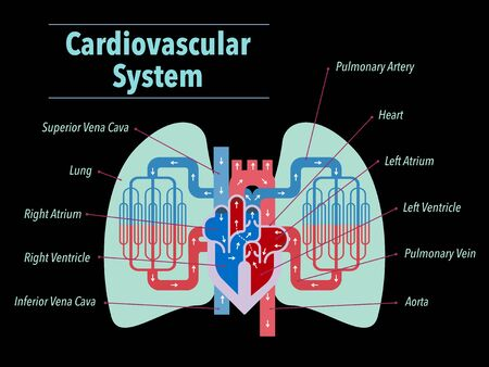 A simple illustration of the cardiovascular system focusing on the heart and lungs with the names of each part in English on the black back