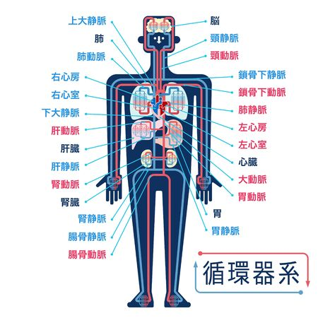 Simple illustration of the circulatory system with the names of each part in Japanese 免版税图像 - 133450827