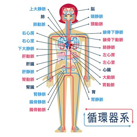 Simple illustration of the circulatory system with the names of each part in Japanese Illustration