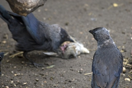 carrion: Corvus corone or carrion crows scavenging around a rabbit