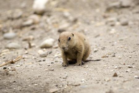 prairie dog: Cynomys ludovicianus or Black-tailed prairie dog Baby Stock Photo