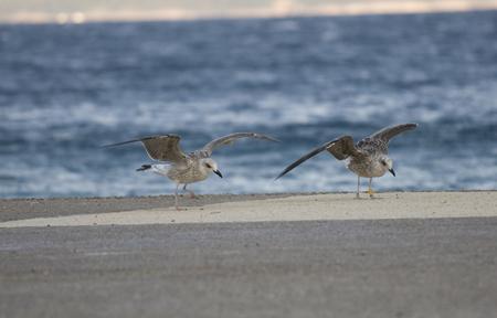 larus: Common gull or Larus canus fighting the wind