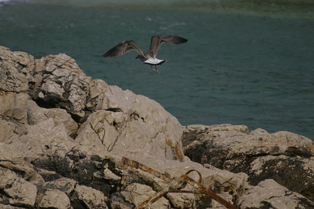 larus: Common gull or Larus canus flying over the sea Stock Photo