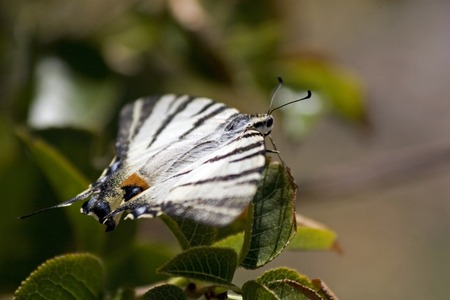 papilio: Papilio machaon or Old World swallowtail Stock Photo