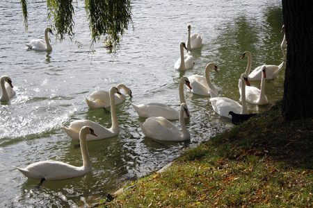 cygnus olor: Cygnus olor or mute swan on the river