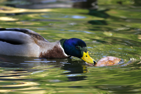 drakes: Anas platyrhynchos or wild duck eating