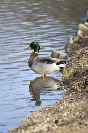 platyrhynchos: Anas platyrhynchos or wild duck standing in a pound