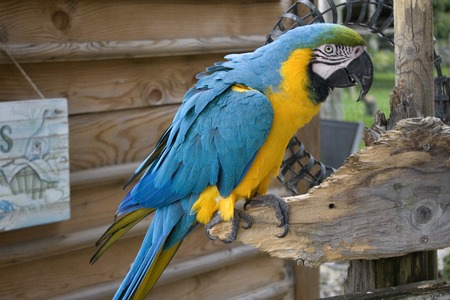 ara: Ara ararauna or blue-and-yellow macaw