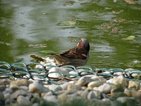 passer by: Passer domesticus or house sparrow in a water
