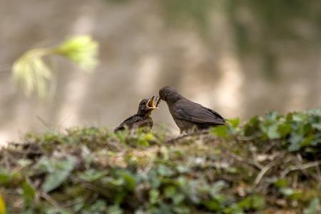 baby bird: Turdus merula or common blackbird feeding baby bird Stock Photo